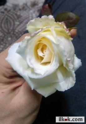 A rose from my garden / bahçemden bir gul :f