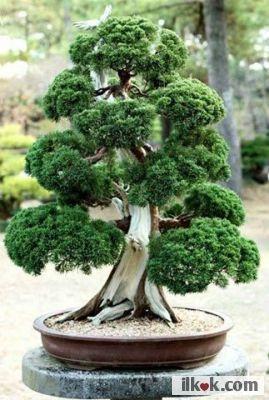 (Japan Pond Tree) Japon ağaçları saksıda yetişebiliyor.